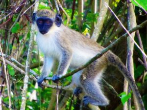 St Kitts & Nevis travel guide - Monkey