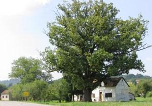 Derventa 01 Stari hrast u selu Lug kod Dervente foto Milan Pilipovic
