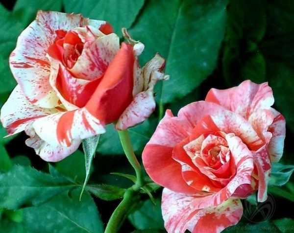 Розы фото | Галерея красивых фото