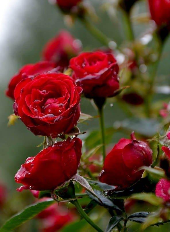 Розы фото   Галерея красивых фото