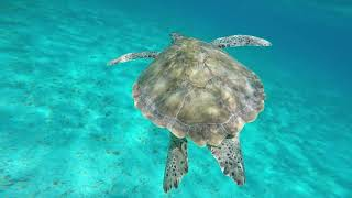 Snorkeling with Sea Turtles in the Tobago Cays | St Vincent & Grenadines
