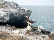 Brown Booby w/ yellow feet