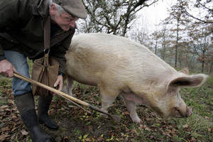 Сколько можно заработать на выращивании трюфеля?
