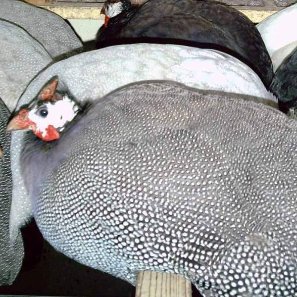 Содержание цесарок в домашних условиях