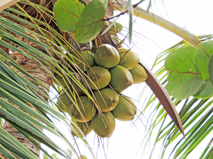 Coconuts_1-PP-w