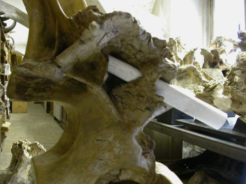 D8 neural arch in right lateral view, showing perforate ACPL