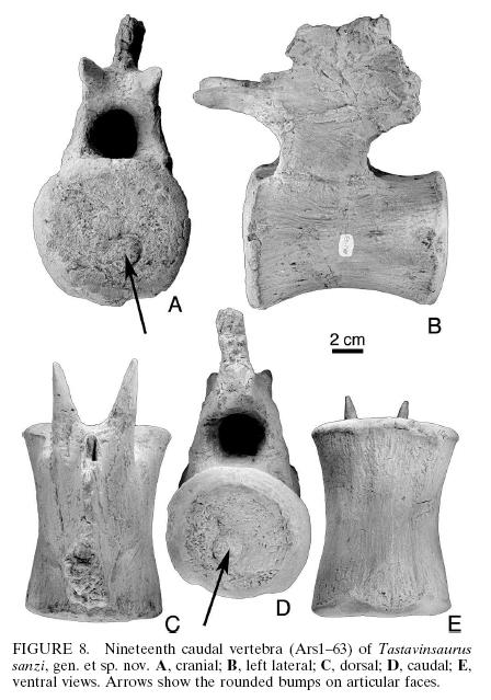 Tastavinsaurus_19th_caudal_vert