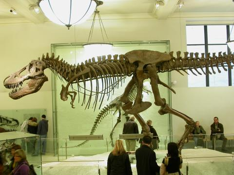 Tyrannosaurus rex at the American Museum of Natural History. Photo by Mike Taylor