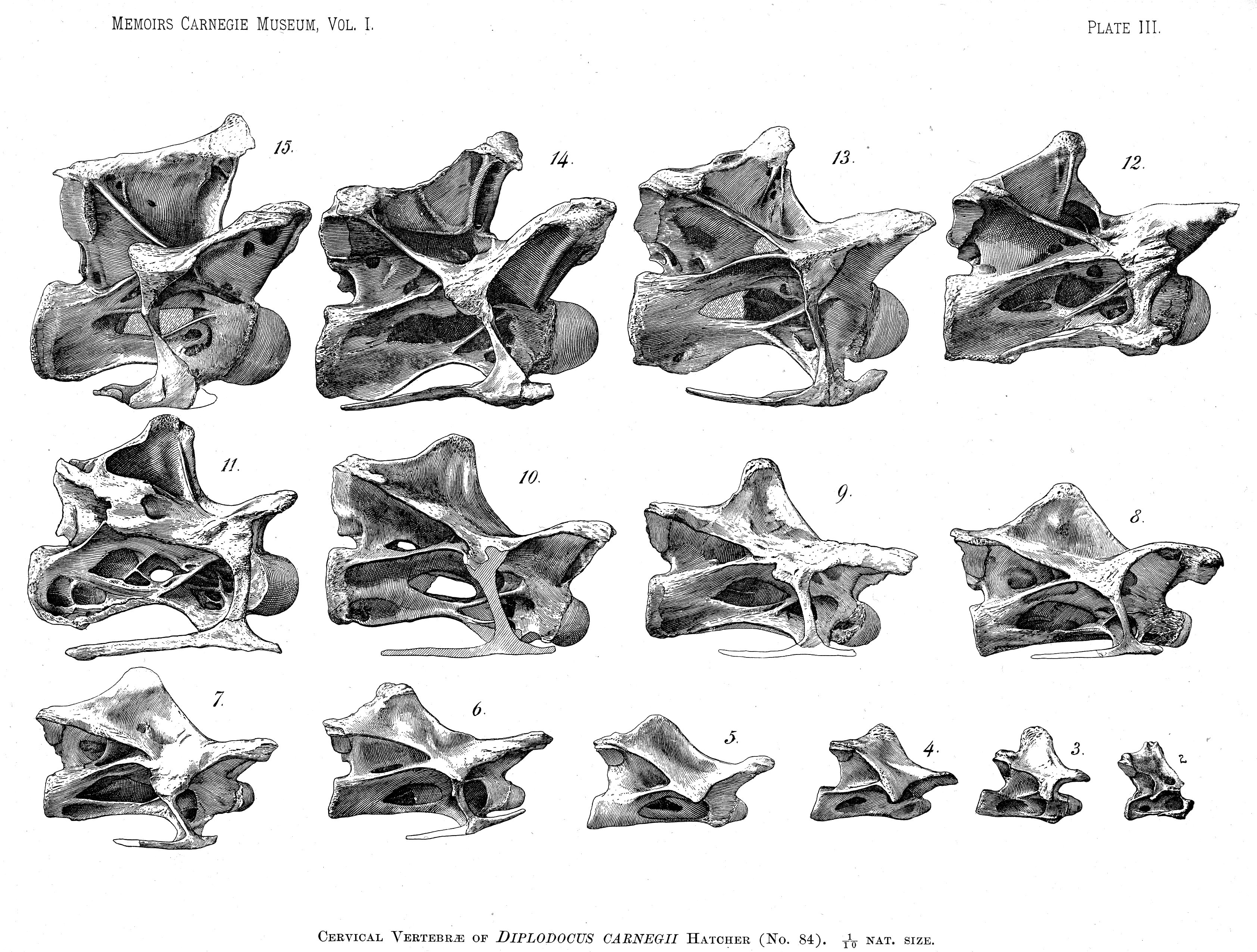 Looking For Dorsal View Images Of Diplodocus Cervicals