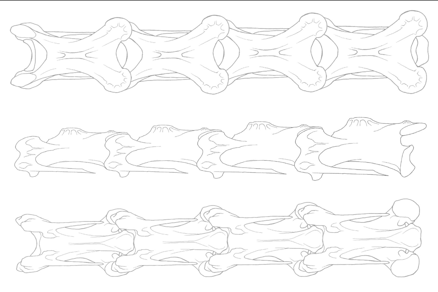 Bird Vertebra Diagrams