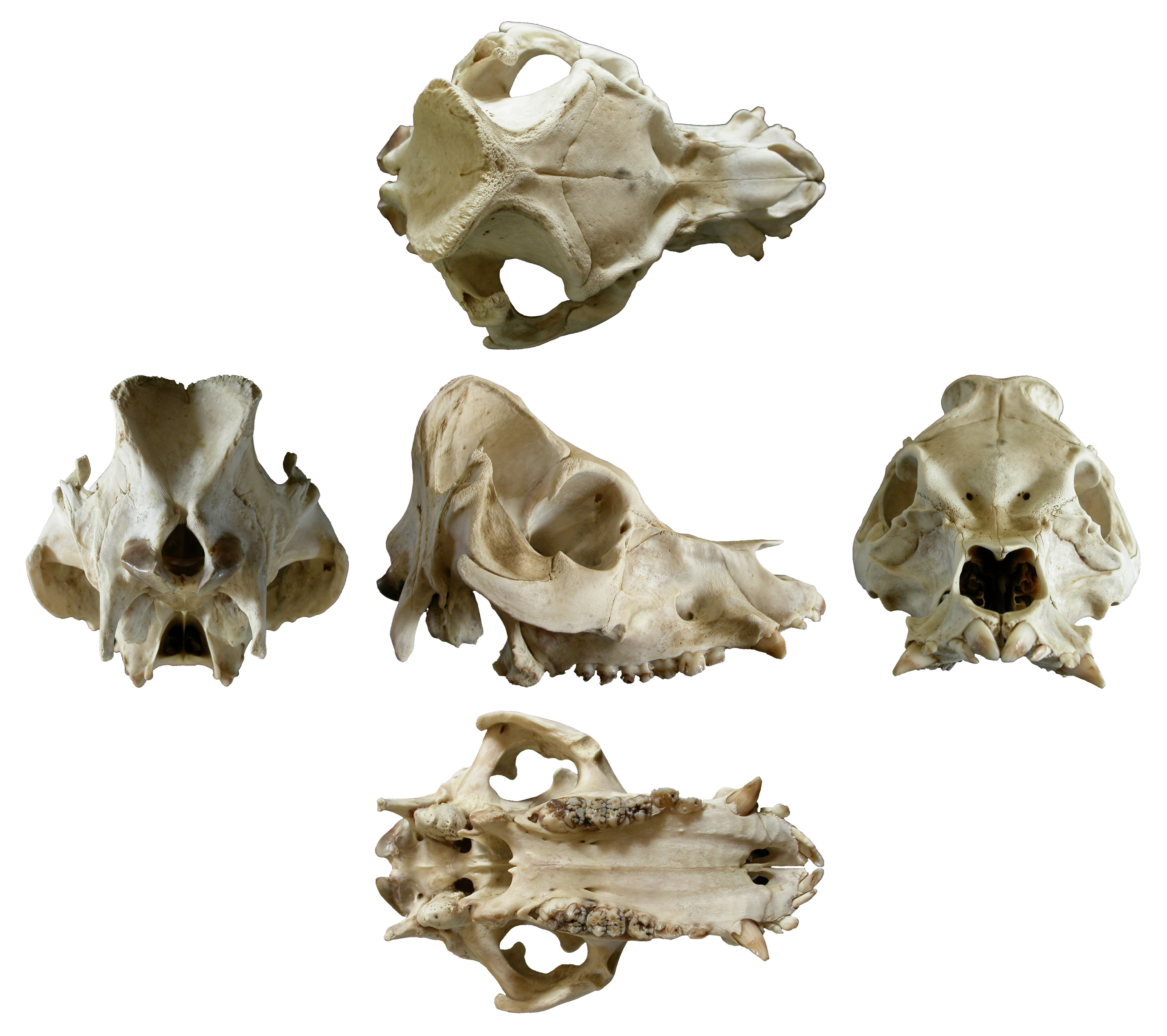Things To Make And Do Part 1 Pig Skull Off Topic