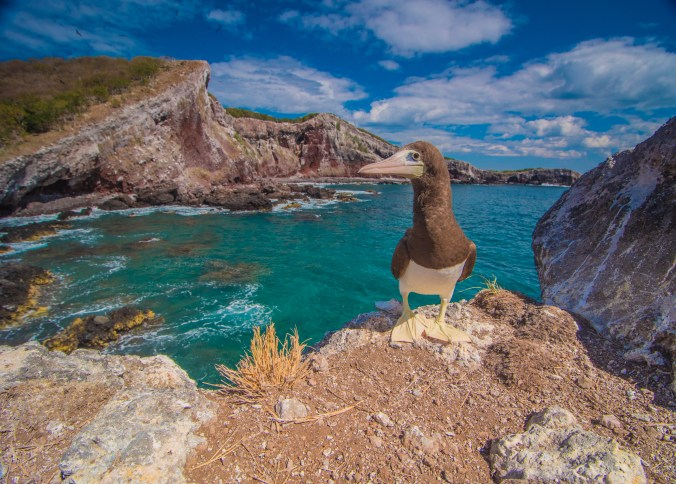 A Brown Booby
