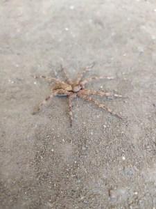 Huntsman Spider (I think)