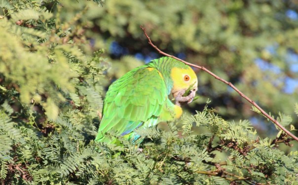 The Green Parrot.
