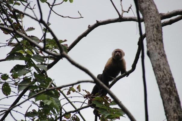 Brulaapje of Howling Monkey De kleintjes noemen ze huilbabys