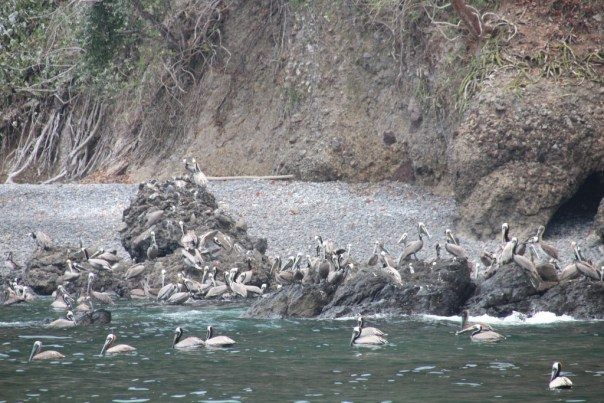Pelikanen tijdens de voormiddag pauze