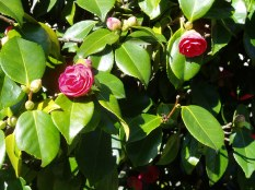 camellia, february, at the legislature, cu, garden Victoria BC Pacific Northwest