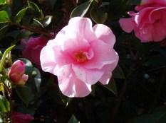 camellia, mid april, waterloo, garden Victoria BC Pacific Northwest