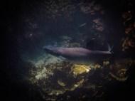 White Tip Reef Shark (Juvenile) at Lady Musgrave Island