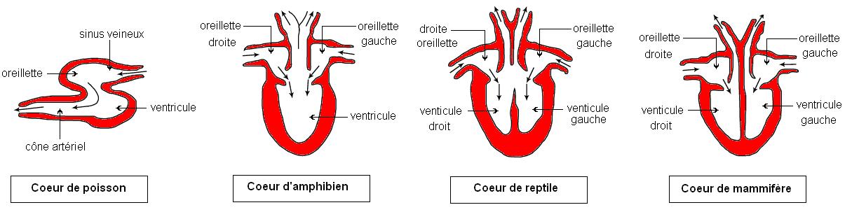 """Résultat de recherche d'images pour """"évolution coeur vertébrés"""""""