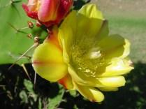 Opuntia (Cactacée)
