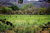 #Copan Ruinas_In the fields