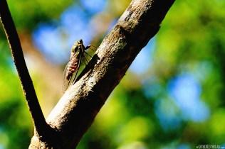 #Macaw Mountain_Cicada