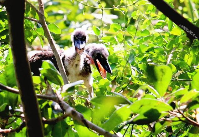 #Barillas-Boat-billed heron chicks