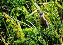 #Barillas-Boat-billed heron2
