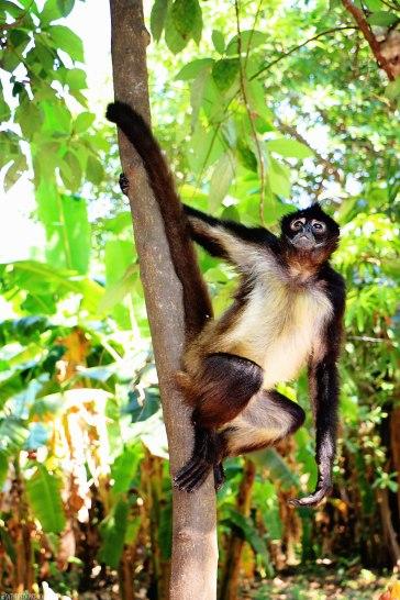 #Barillas_Spider monkey3
