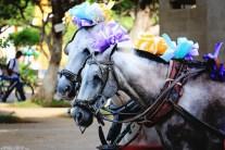 #Granada_Carriage ponies
