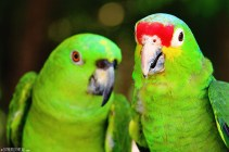 #Isla Tortugas_Red-lored parrots