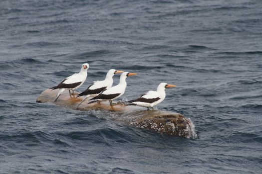 I think we stumbled upon the Inaugural Ecuadorian Albatross Association AGM