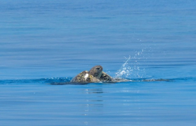 Turtles mating all around us - it's a cumbersome process