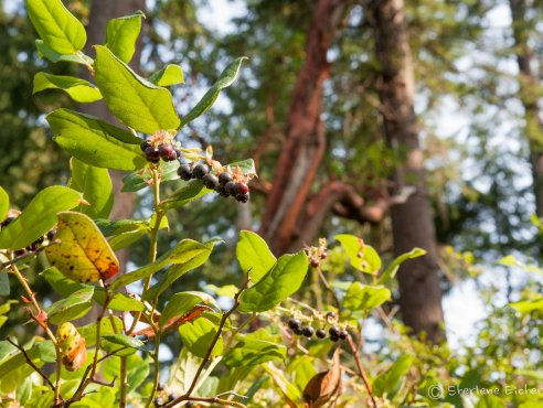 The park was full of Salal berries
