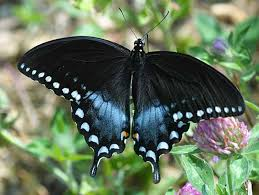 ... here is A Google Image of my butterfly.