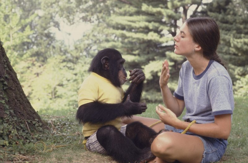 Nim Chimpsky is a chimpanzee that was raised by researchers like a human child, in the hope that a proper upbringing might encourage more human traits to emerge. The experiment failed tragic and scaring results for everyone involved. Project Nm tells this story.