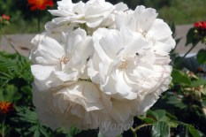 Kausani-Flowers16