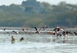 Sambhar Flamingos23