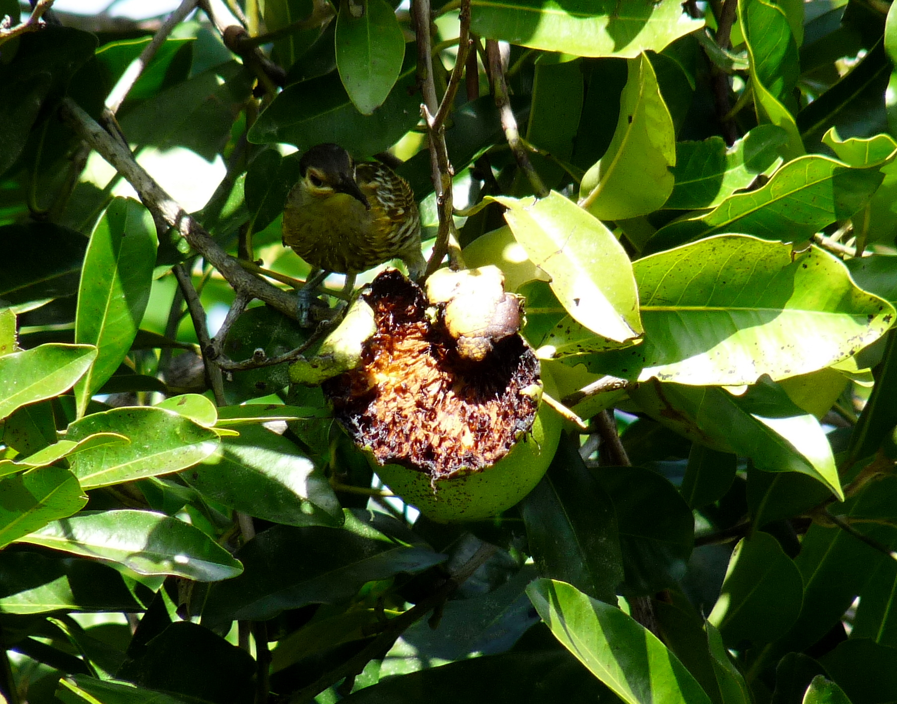Macleay's Honeyeater and fruit