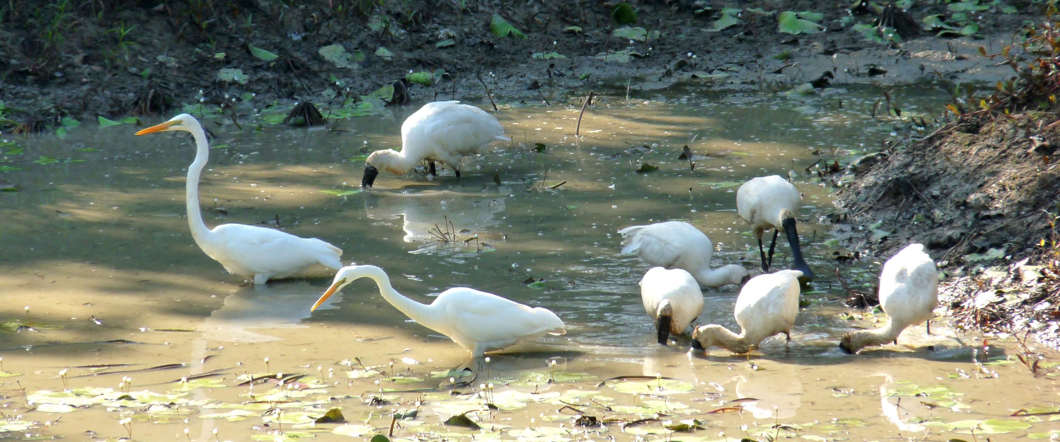 Spoonbills & Egrets feeding