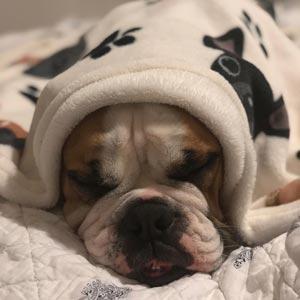 Cute Aussie Bulldog Sleeping in a blanket. Why Aussie Bulldogs are not aggressive