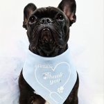 Dogs wear bandanas for fashion as shown with this French Bulldog wearing a nice Blue bandana to support nurses