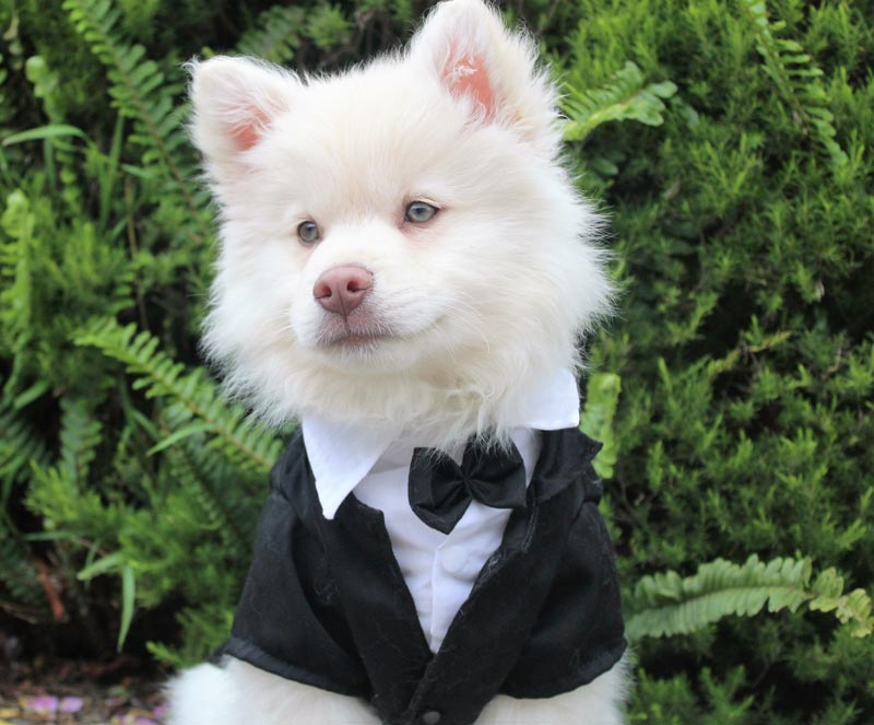 White dog in tuxedo for wedding with dog bow and black blazer