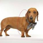 Dachshund Dog with Bow for measuring for clothing