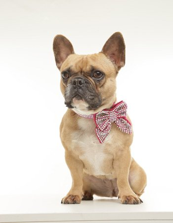 Fawn french bulldog wearing a swarovski crystal bow and collar from Swanky Paws