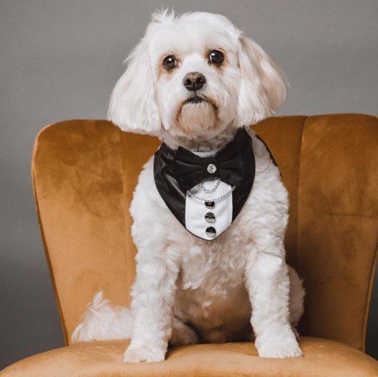 Maltese dog showing off luxury tuxedo dog bandana at Studio1000