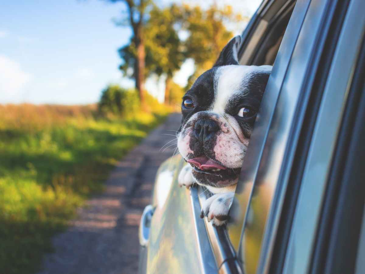 white and black short coat puppy on black window car
