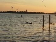 Lots of pelicans