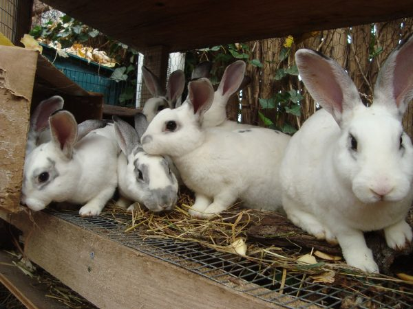 Hasil gambar untuk kelinci ternak hd